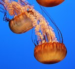 Sea Nettle 3 (15559264206).jpg