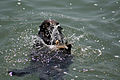 Sea Otteruses a rock to brake a shell open.jpg