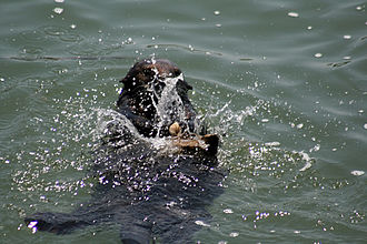 Sea otter using a rock as an anvil for opening a shell Sea Otteruses a rock to brake a shell open.jpg