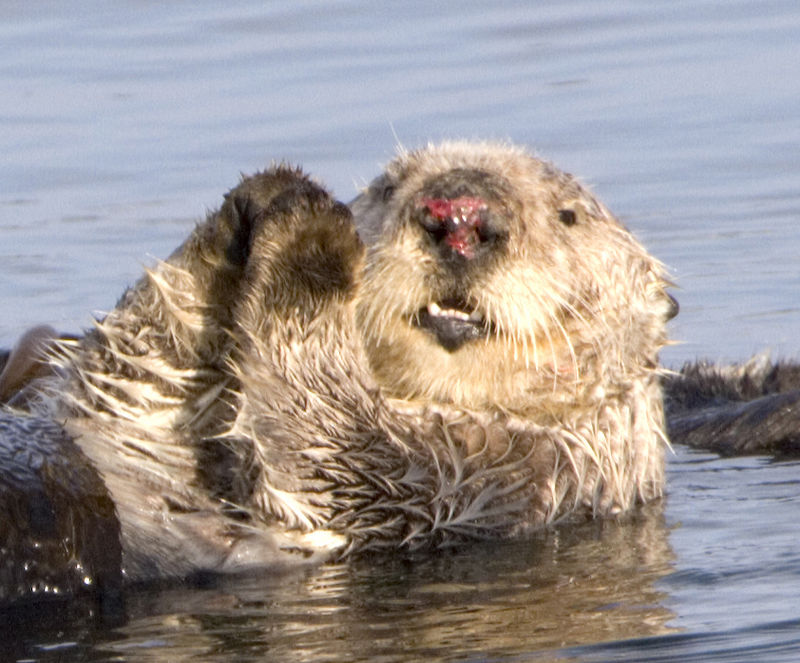 Sea otter with injured nose.JPG