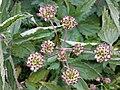 Selinum pyrenaeum (15918000954).jpg
