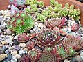 Sempervivum Bowl (5003736751).jpg
