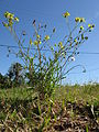 Senecio madagascariensis plant15 (15957244779).jpg