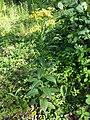 Senecio nemorensis subsp. jacquinianus sl5.jpg
