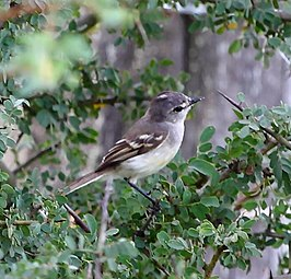 Serpophaga munda - White-bellied tyrannulet.JPG