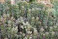 Ses Salines - Botanicactus - Euphorbia caerulescens 02 ies.jpg