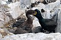 Shag chick feeding from parent, Inner Farne - geograph.org.uk - 1379377.jpg
