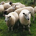 Sheep on the Scrounge - geograph.org.uk - 533411.jpg