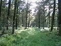 Sherrington Wood near Chicklade - geograph.org.uk - 917074.jpg