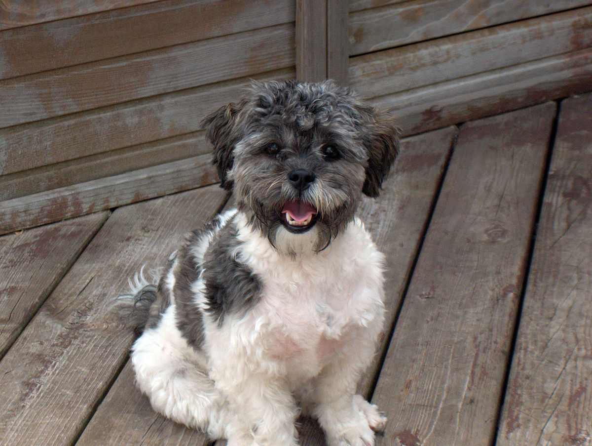 Shih Poo Dogs For Sale Uk