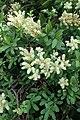 Sibiraea laevigata kz07.jpg