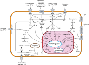Retinoblastoma protein - Overview of signal transduction pathways involved in apoptosis.