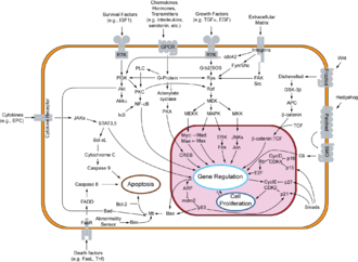 GSK3B - Overview of signal transduction pathways involved in apoptosis.