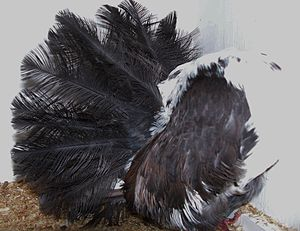 Fantail pigeon - A Silky Fantail