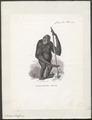 Simia satyrus - 1851-1876 - Print - Iconographia Zoologica - Special Collections University of Amsterdam - UBA01 IZ19800021.tif