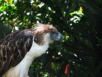 Philippine eagle - A Philippine eagle named Sir Arny, at the Philippine Eagle Center, Davao City