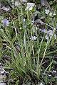 Sisyrinchium montanum, Mouthe - img 34184.jpg