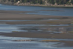 Mudflat - Gulls feeding on mudflats in Skagit Bay, Washington.