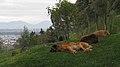 Sleeping dogs (15554940586).jpg