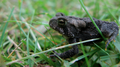 Small toad, dark coloring 1 (6084512218).png