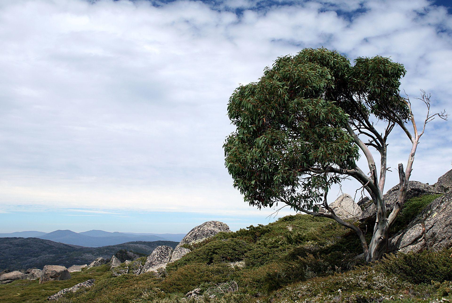 Eucalyptus Pauciflora Wikipedia