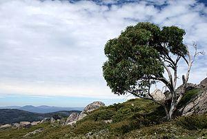 Eucalyptus pauciflora - Image: Snow Gum