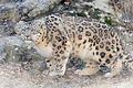 Snow Leopard Crouched (13883238954).jpg