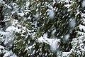 Snow falling on cedars 7.jpg