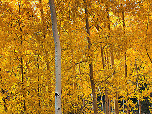 Yellow - American aspens, Populus tremuloides