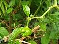 Solanales - Capsicum chinense - 4.jpg