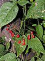 Solanum dulcamara20100818 161.jpg