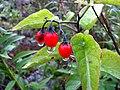 Solanum dulcamara (5386574212).jpg