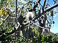Sophora chrysophylla (5210128536).jpg