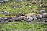 Southern Elephant Seals (5798295614).jpg