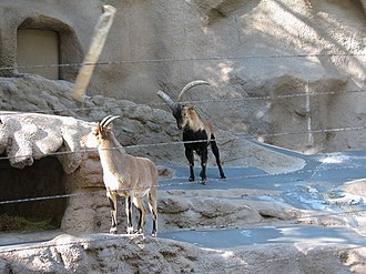 Iberian ibex - Image: Spanish Ibex at the San Diego Zoo 2