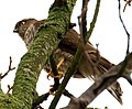 Sparrowhawk high in the trees (6975999341).jpg