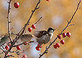Sparrows in crabapple tree.jpg