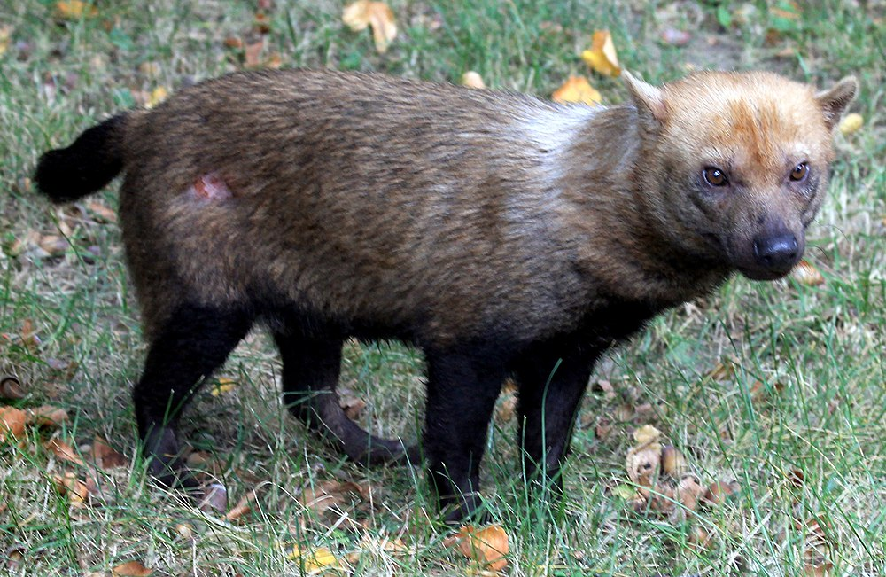 The average litter size of a Bush dog is 4