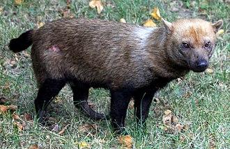 Bush dog - Bush dog at Prague Zoo