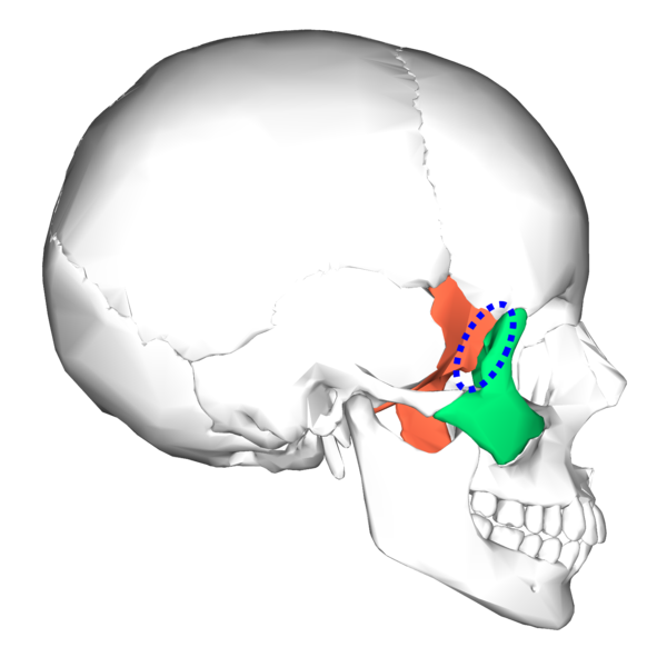 file:sphenoid bone and zygomatic bone - lateral view4, Human Body