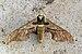 Sphinx moth (Adhemarius donysa) male.jpg