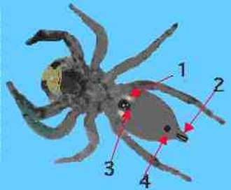 Book lung - In this spider diagram, the book lung is labelled 1.