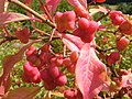 Spindle tree berries - geograph.org.uk - 227993.jpg