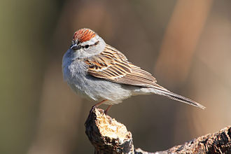 Chipping sparrow - Adult in breeding plumage
