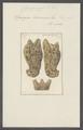 Spongia cavernosa - - Print - Iconographia Zoologica - Special Collections University of Amsterdam - UBAINV0274 112 04 0005.tif