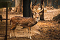 Spotted Deer or the Chital.jpg
