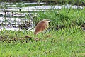 Squacco heron in Chobe National Park 01.jpg