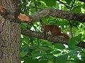 Squirrel-columbus.jpg