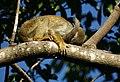Squirrel monkey- Bonnet House, Fort Lauderdale, Florida (4233832034).jpg