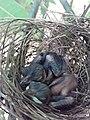 Sri Lankan Bush warbler babies endemic.jpg